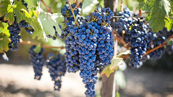 purple wine grapes